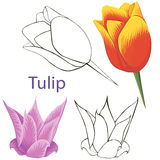 Tulip flowers. contours of flowers Royalty Free Stock Photo