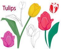 Tulip flowers. Royalty Free Stock Images