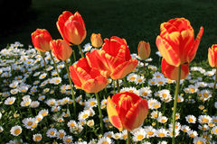 Tulip Flowers an Daisies Stock Photo