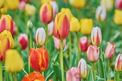 Tulip Flowers of Different Colors Royalty Free Stock Image