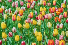 Tulip Flowers of Different Colors Royalty Free Stock Images