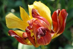 Tulip. Flowers dream tulip yellow spring tender petal red miracle beautiful royalty free stock image