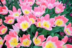 Tulip flowers. The tulip is a Eurasian and North African genus of perennial, bulbous plants in the lily family. It is a herbaceous herb with showy flowers, of stock images