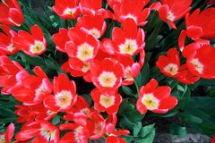 Tulip flowers. The tulip is a Eurasian and North African genus of perennial, bulbous plants in the lily family. It is a herbaceous herb with showy flowers, of royalty free stock photos