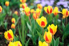 Tulip flowers. The tulip is a Eurasian and North African genus of perennial, bulbous plants in the lily family. It is a herbaceous herb with showy flowers, of stock photos