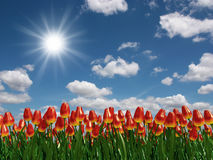 Tulip flowers field Royalty Free Stock Photos