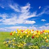 Tulip flowers field on blue sky Royalty Free Stock Image