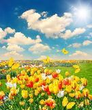 Tulip flowers field with butterflies and sunny blue sky Royalty Free Stock Images