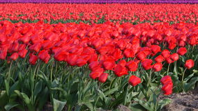 Tulip flowers in a field. Of red Tulips  shaking in the wind on a spring day stock video footage