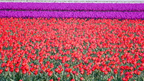 Tulip flowers in a field. Of red Tulips  shaking in the wind on a spring day stock footage