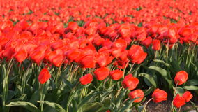 Tulip flowers in a field of red Tulips. Shaking in the wind on a spring day stock footage