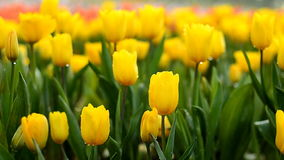 Tulip flowers field stock footage