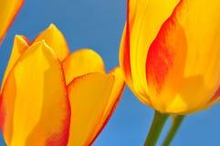 Tulip flowers Stock Photos