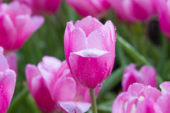 Tulip flowers with foggy sprayed in the morning light. Stock Photography
