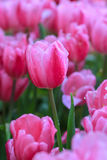 Tulip flowers with foggy sprayed in the morning light. Fresh tulips in warm sun light Royalty Free Stock Photos