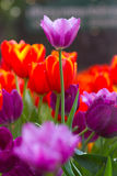 Tulip flowers with foggy sprayed in the morning light. Royalty Free Stock Photos