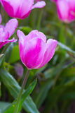 Tulip flowers with foggy sprayed in the morning light. Royalty Free Stock Images