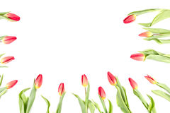 Tulip flowers forming an border frame on white background with copy space Royalty Free Stock Photos
