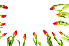 Tulip flowers forming an border frame on white background with copy space Royalty Free Stock Photo