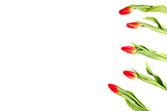 Tulip flowers forming an border frame on white background with copy space Stock Images