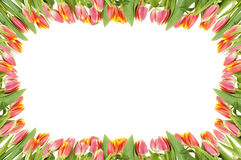 Tulip flowers frame over the white Royalty Free Stock Photo