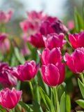 Tulip flowers in garden Royalty Free Stock Image