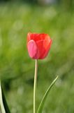 Tulip. Flowers in the garden Stock Photography
