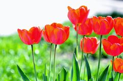Tulip. Flowers in the garden Royalty Free Stock Photos