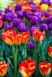 Tulip flowers Royalty Free Stock Image