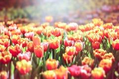 Tulip flowers in the garden Stock Photos