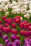 Tulip flowers garden in spring background or pattern Royalty Free Stock Photos