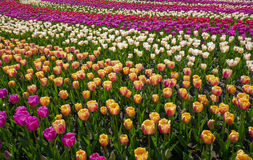 Tulip flowers garden in spring background or pattern Royalty Free Stock Images
