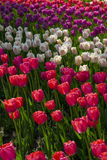 Tulip flowers garden in spring background or pattern Stock Photography