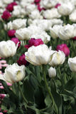 Tulip flowers garden Stock Photography