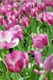 Tulip flowers garden Royalty Free Stock Photography