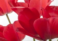 The tulip is  flowers in the genus Tulipa, Stock Photo