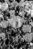 The tulip is  flowers in the genus Tulipa, Stock Images