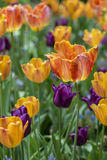 The tulip is  flowers in the genus Tulipa, Royalty Free Stock Photo