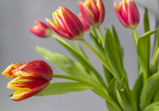 The tulip is  flowers in the genus Tulipa, Royalty Free Stock Images