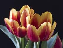 The tulip is  flowers in the genus Tulipa Stock Images