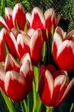 The tulip is  flowers in the genus Tulipa, Stock Photos