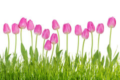 Tulip flowers with grass Royalty Free Stock Image