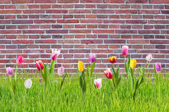 Tulip Flowers in Grass Royalty Free Stock Photography