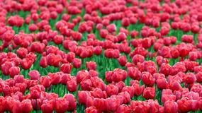 Tulip Flowers Growing in Field Stock Photos