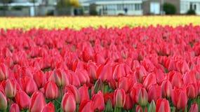 Tulip Flowers Growing variopinta nel campo Fotografie Stock