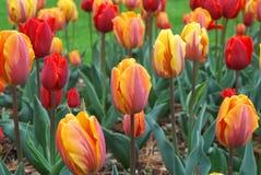 Tulip Flowers i Montreux parkerar Royaltyfri Fotografi