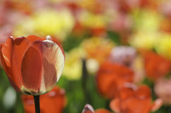 Tulip Flowers i trädgård Arkivfoto