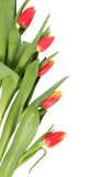 Tulip flowers isolated. Spring flowers tulips separately on a white background Royalty Free Stock Photo