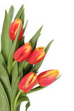 Tulip flowers isolated. Spring flowers tulips separately on a white background Stock Photos