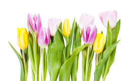 Tulip flowers isolated Royalty Free Stock Photography